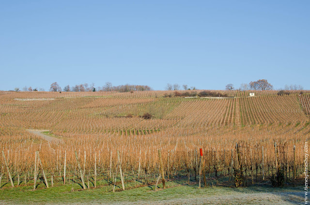 Riquewihr Alsacia viñedos