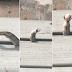 Cobra regurgita quatro ovos para poder passar em vão