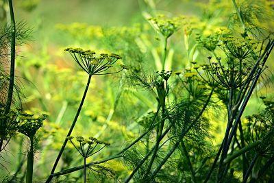 Cultivo de hierbas. Plantas de anís.