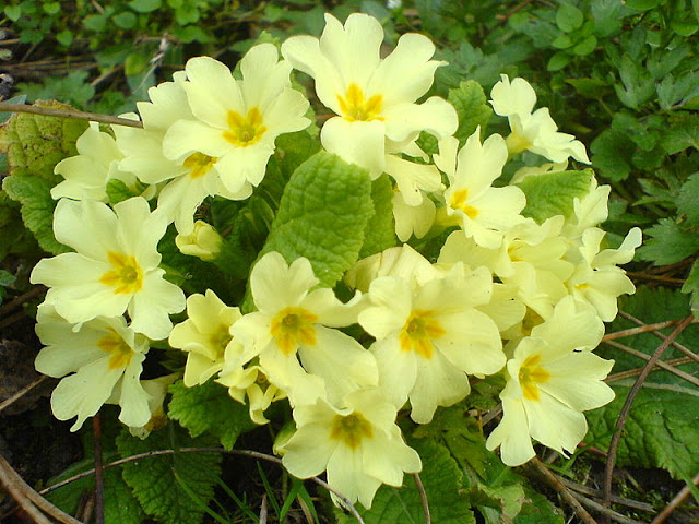 primrose yellow flowers
