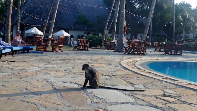 małpy przy basenie