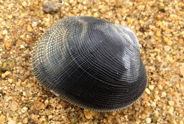 palourde peche mollusque