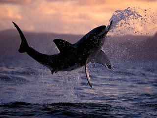 الفيلم الوثائقي حياة البرية الخاصة: great-white-shark.jp