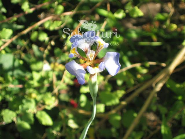 Cypella coelestis  Lirio azul