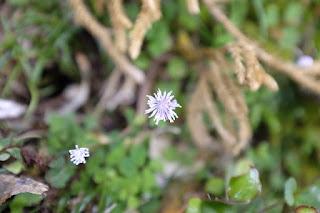 ヤクシマカラマツ、屋久島の植物7月