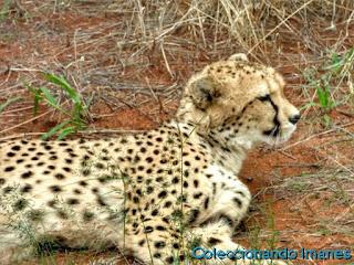 Leopardos y guepardos en Okonjima Namibia Africat