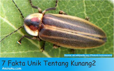 Fakta unik kunang kunang