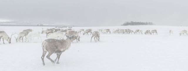 lots of reindeer are walking and grazing across a snowy landscape