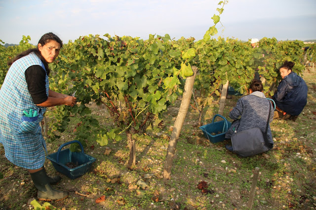 pickers in Sauternes