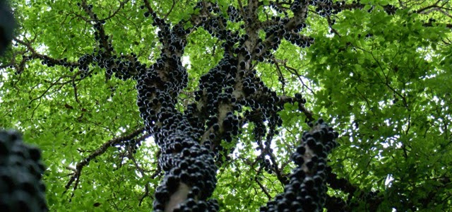 Jabuticaba Nasıl Bir Meyvedir?