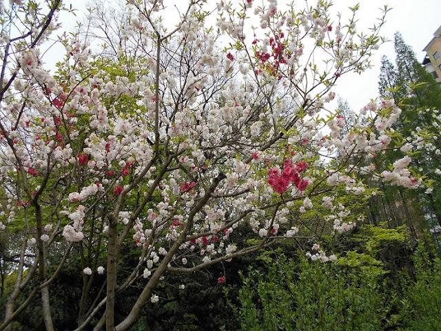 同じ木に白と赤の花が同時に咲いている