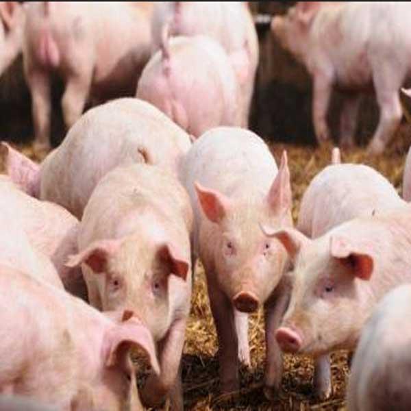 Parasit Dalam Babi, Parasit Berbahaya Dalam Babi, 9 Parasit Berbahaya Dalam Babi