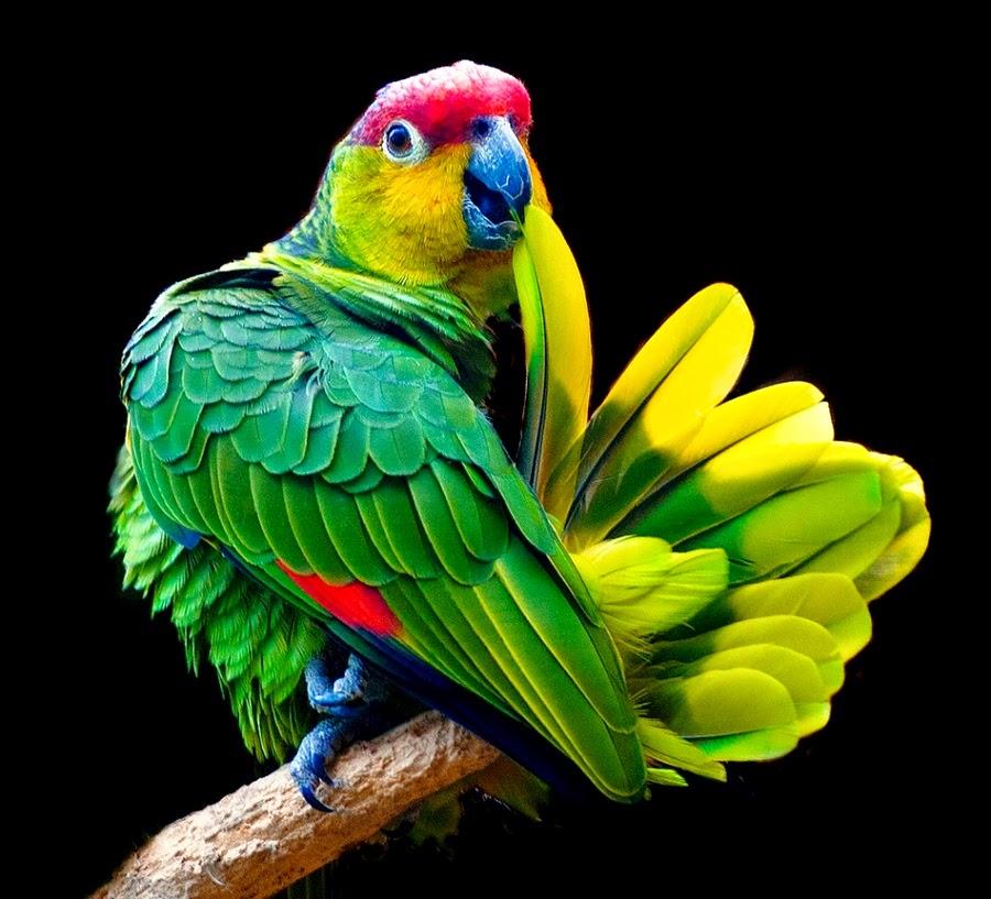 Resultado de imagem para papagaio falastrao