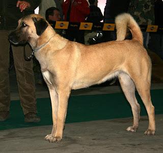 Anatolian Shepherd dog-dog-pets-dog breeds