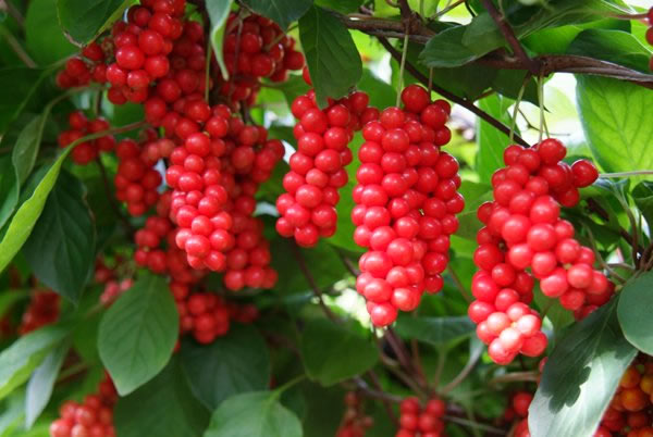 Schisandra fruits