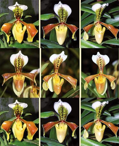 Paphiopedilum × tamphianum