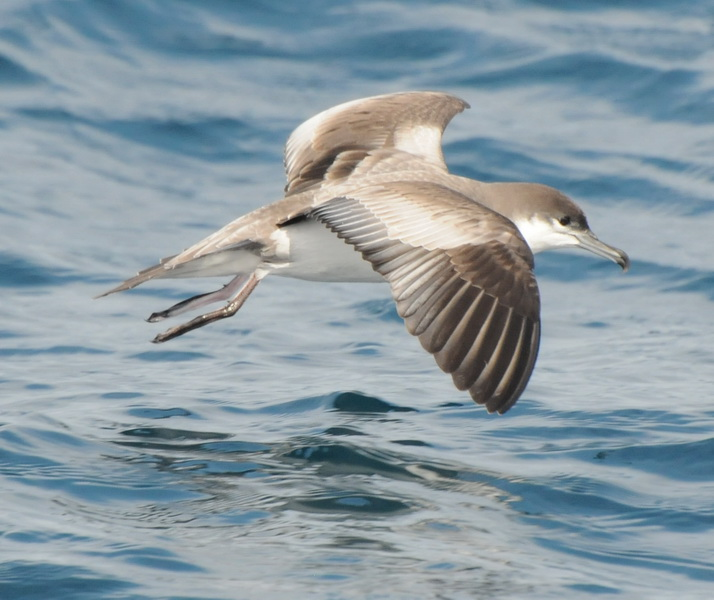 A Wandering Naturalist: New Zealand: Shearwaters and a Petrel