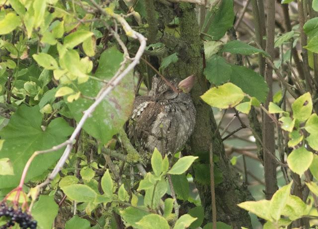 Scops Owl - Ryhope, Durham