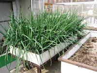 玉ねぎ密植栽培