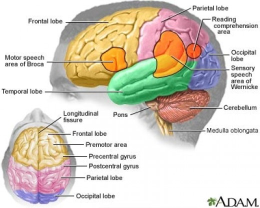 inside skull diagram ear anatomy labeled delightful mix what s the head of a human in front there is frontal lobe middle parietal back occipital and on side temporal