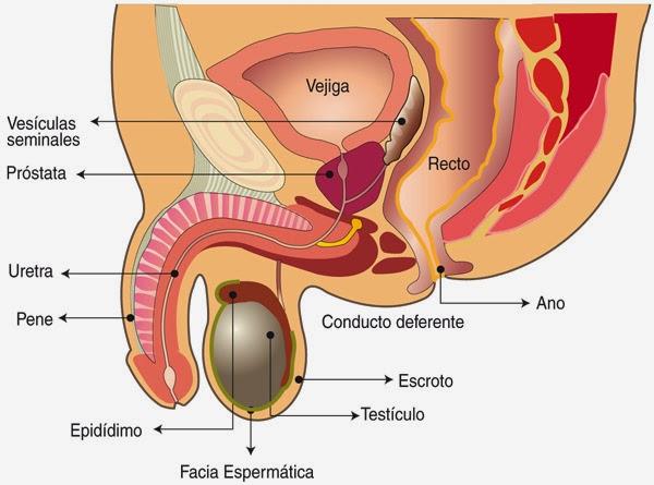 el rápido crecimiento de la próstata en un año causar