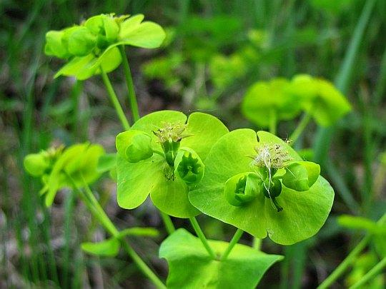 Wilczomlecz lancetowaty (Euphorbia esula L.).