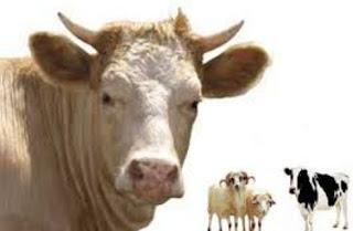 Hukum Pekurban Melihat Langsung Penyembelihan Hewan Kurban