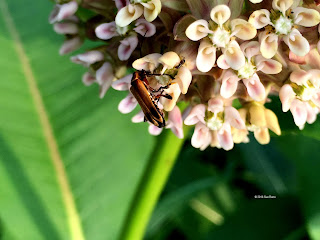Chauliognathus, soldier beetle, on milkweed