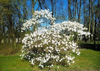 Magnolia w ogrodzie nieborowskim