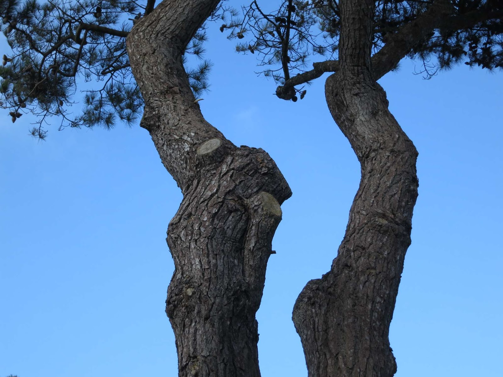 Branched trunks of Monterey Pine