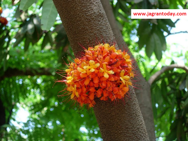 Know the Miraculous Qualities of Ashoka Tree