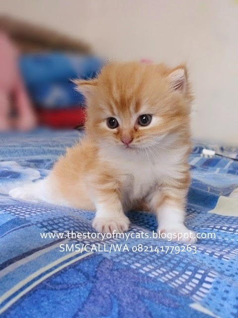 Jual Kucing Persia Medium Red Point Terbaru 2014-2015