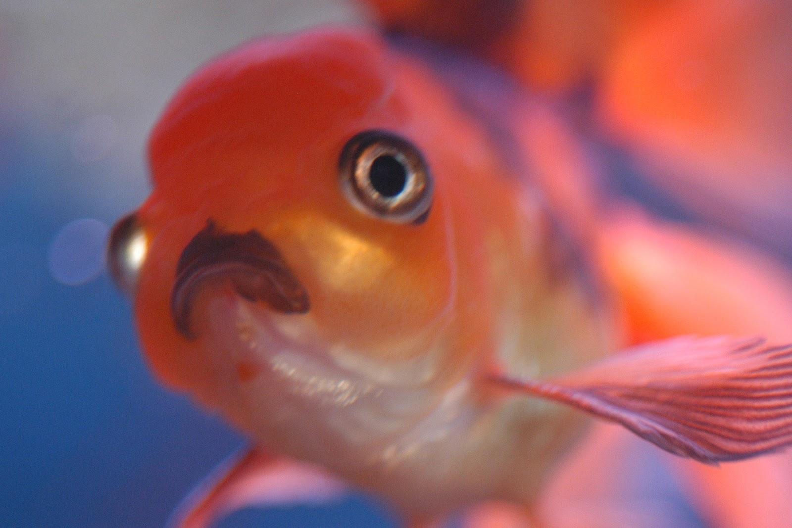 Japon balıkları 1 günde kaç kez beslenmelidir