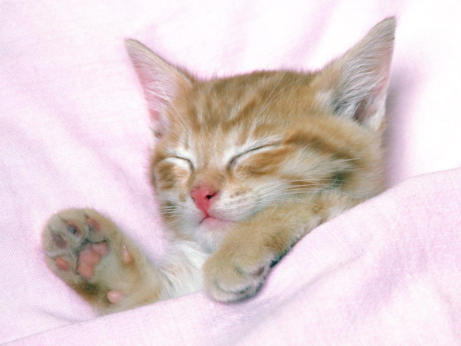 Cute Sleeping Kitten Wallpaper Hd Cats Wallpapers Mobile Wallpapers