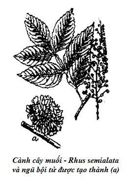 Hình vẽ Cành cây muối - Rhus semialata - Ngũ Bội Tử - Galla sinensis - Nguyên liệu làm thuốc Chữa Đi Lỏng-Đau Bụng
