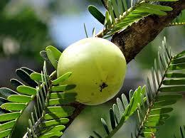 Himalayan nepali Gooseberry Amla Phyllanthus