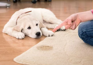how to get dogs to stop peeing in the house, how to keep a dog from peeing in the house keep dog from peeing on carpet, how to stop a dog from peeing