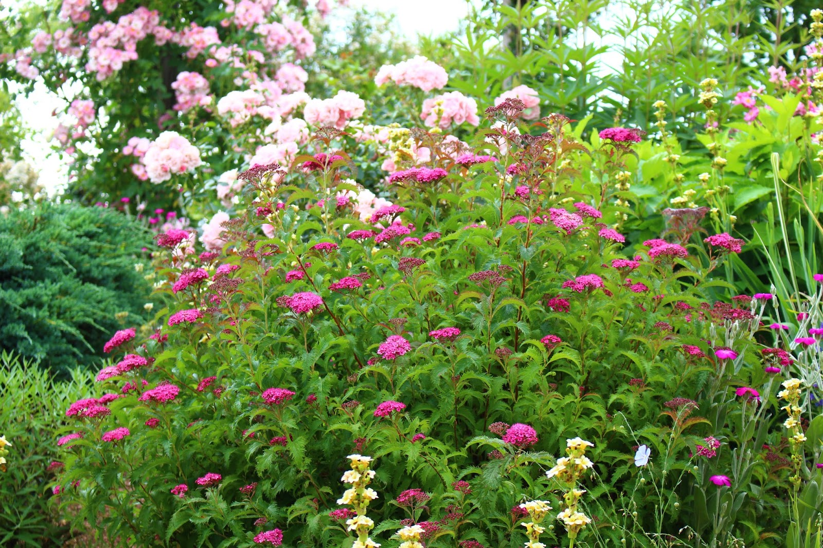 Roses Du Jardin Cheneland Spiraea Japonica Crispa