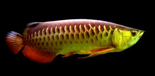 Harga ikan jenis arwana golden red dewasa dan anakan