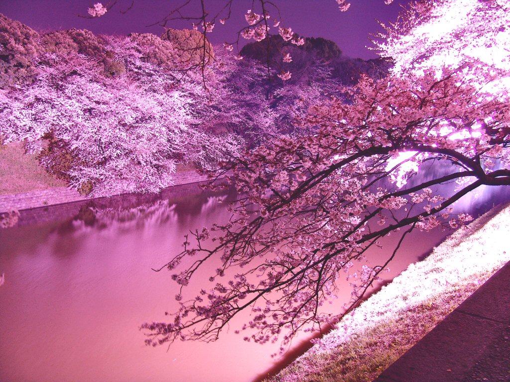 神戸大学病理部 病理診断科ブログ 春は桜ですねぇ W ノシ