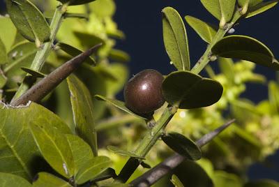 arboles nativos de argentina Coronillo Scutia buxifolia