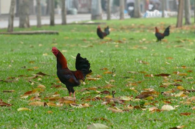 """Ta thấy gà """"Tre"""" trên cỏ xanh ở Sài Gòn"""