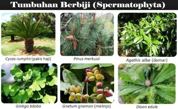 Mengenal Spermatophyta  (Gymnospermae dan Angiospermae)