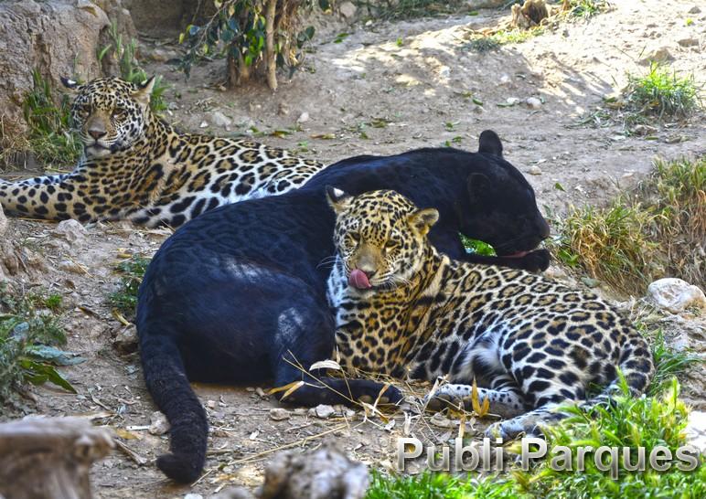 familia jaguares