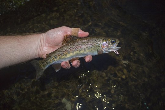 Rainbow trout on Deep Creek