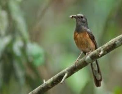 Mengetahui Ciri Ciri Fisik Burung Murai Batu Betina Calon Indukan Yang Bagus