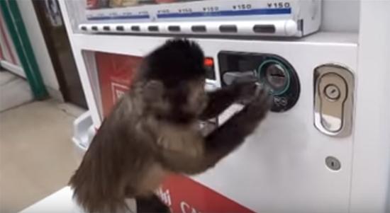 Macaco usando maquina bebidas