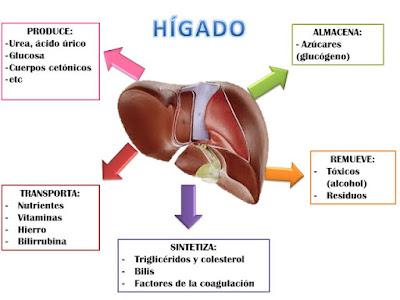 funcion del higado en el sistema digestivo