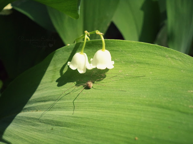Spider and Lily of the Valley