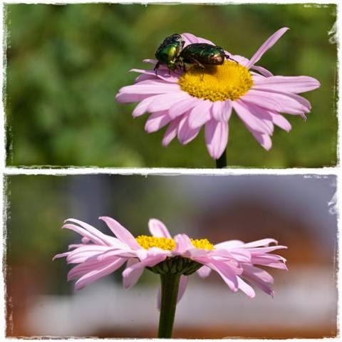 Gartenblog Topfgartenwelt Rosenkäfer: im Zweikampf auf bunter Magerite